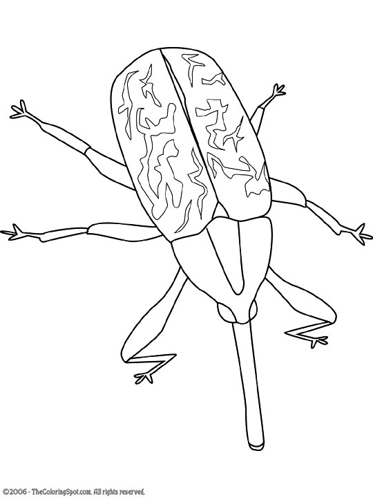 boll-weevil