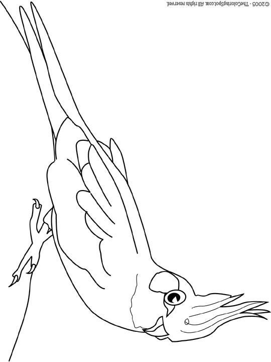 cockatiel bird coloring pages - photo#7